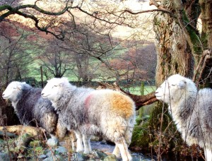 Lakeland sheep, New Year 2005